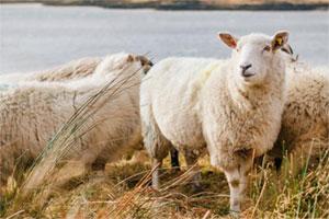 Schafe sind mit ihrer Wolle von Natur aus isoliert.