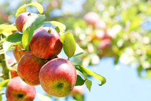 Rote Äpfel hängen am Zweig