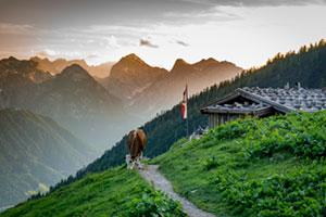 Kuh vor Gasthof in der Kulisse des Achensees