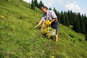 Reinhard Schuler heilend Alpenpflanzen ©Alpienne
