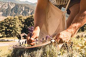 Ein Mann erntet per Handel Lavendel
